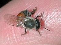 Remedios para Picaduras de Abeja, Avispa o Mosquitos